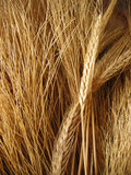 Wheat. A arrangement of wheat Royalty Free Stock Photo