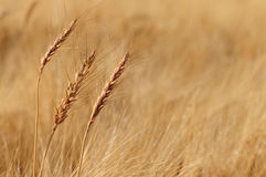 Wheat. Three isolated wheat plants out stand in the field Royalty Free Stock Photo