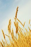 Wheat. Field of wheat in a sunny day Stock Photos