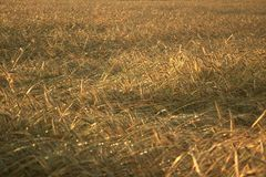 Wheat. Ripe wheat on the sunset Royalty Free Stock Photo