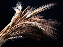 Wheat. Ears Stock Image