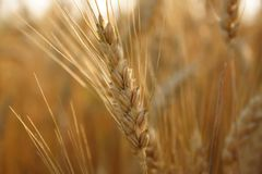 Wheat. A wheat field in central Ohio Stock Photography