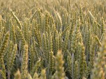 Wheat. Unripe wheat on the sunrise royalty free stock images