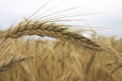 Wheat. Field stock images