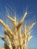 Wheat. Closeup shot of a wheat ear brightly lit by warm evening sun in summer Stock Images