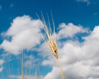 Wheat against Royalty Free Stock Photography