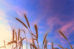 Wheat against the beautiful sky Stock Image