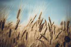 Wheat against Blue Skies Stock Images