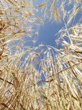 Wheat against blue sky. Stock Photos