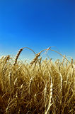 Wheat against blue sky Royalty Free Stock Photography