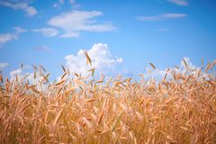 Wheat against the sky Royalty Free Stock Images