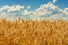 Wheat against the sky with clouds. Golden wheat against the blue sky with clouds Stock Image