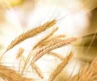 Wheat against the sun Stock Photo