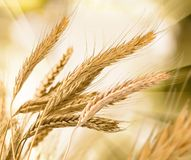 Wheat against the sun Stock Photos