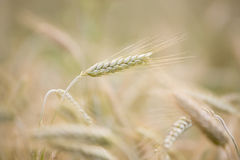 Wheat agriculture Royalty Free Stock Images