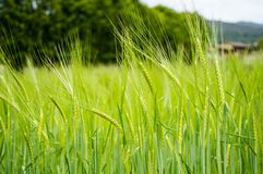 Wheat, agriculture, cultivation, nature, food, cereal. Some plants of wheat are growing up stock images