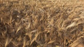 Wheat in Agriculture Field, Ear in Sunset, Agricultural View Grains Industry, Cereals Crop