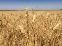 Wheat/agriculture/food/świat Zdjęcie Stock