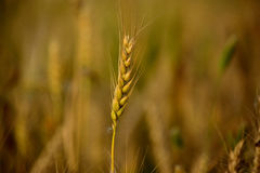 Wheat,Agriculture, Royalty Free Stock Images