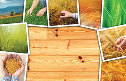 Wheat agriculture photo collage. Collection of photos depicting growth and harvesting of cereal plant stock photos