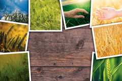 Wheat in agriculture photo collage. Collection of photos depicting growth and harvesting of cereal plant royalty free stock photo