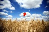 Free Wheat And Poppy Flower Royalty Free Stock Photography - 31782487