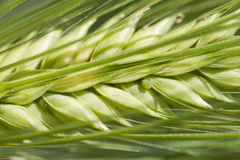Wheat and aphis Royalty Free Stock Image