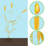 Wheat as a plant Royalty Free Stock Images