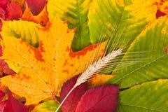Wheat on autumn leaves Royalty Free Stock Photos