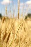 Wheat background. Closeup shot of a wheat ear brightly lit by warm evening sun in summer Royalty Free Stock Photos
