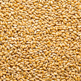 Wheat background. View from the top close up Royalty Free Stock Images