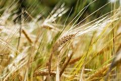 Wheat Background Stock Photos