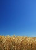 Wheat background blue sky Royalty Free Stock Photography
