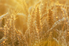 Wheat background. Ripe wheat in the field illuminated by evening sun royalty free stock photography