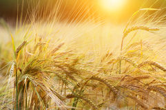 Wheat background Royalty Free Stock Images