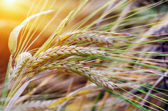 Wheat background Royalty Free Stock Photography