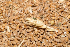 Wheat background view from the top. A Wheat background view from the top Stock Image
