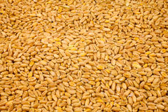 Wheat background view from the top close up. Detail Royalty Free Stock Photo