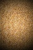 Wheat background view from the top close up. Yellow and gold cereal at close quarters Stock Images