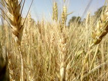 Wheat background Royalty Free Stock Photo