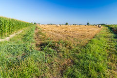 Wheat bales near corn fields Royalty Free Stock Images