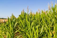 Wheat bales near corn fields Royalty Free Stock Photography