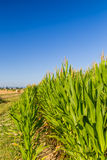 Wheat bales near corn fields Royalty Free Stock Photos