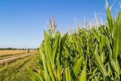 Wheat bales near corn fields Stock Photography