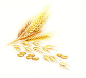 Wheat and barley. Ears and grains of wheat and barley Stock Photos