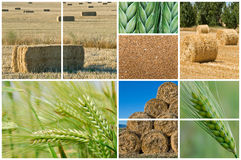 Wheat and barley. Stock Photography