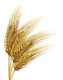 Wheat or barley Element vector illustration