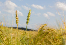 Wheat and barley in the field Stock Photo