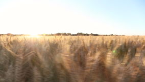 Wheat or barley field at sunset or sunrise stock footage