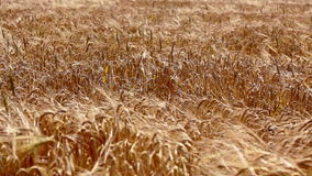 Wheat or barley field waving on wind stock video footage